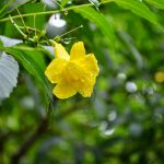 flower_yellow_flower_flowers_nature_plant_plants_mawanella_sri_lanka-1016824